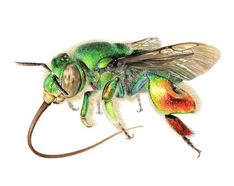 Orchid Bee  - A4 Limited edition art print