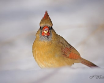 A Female Cardinal in the Snow // Song Bird Photography // Wildlife Art // Nature Print