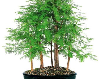 Dawn Redwood 5 Tree Forest (Outdoor)