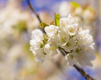 Spring Cherry Blossoms: Fine Art Photography