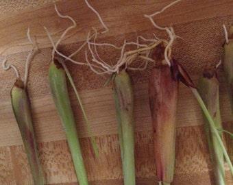 Live Organic Lemongrass Plant Stalks x4 Cymbopogon citratus Easy to grow your own