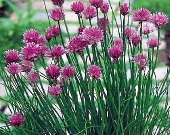 Chive LIVE PLANT