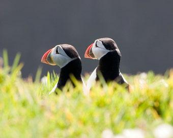 Puffin fine art photo - puffin - wildlife photography - 14 x 11 inch mount - puffin photograph - skomer island - nature photography