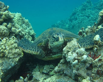 Turtle nestled in coral