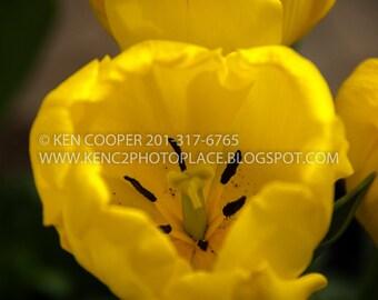 Yellow Tulip, Tulip, Tulips, Yellow Flower, Spring Flowers, Dutch