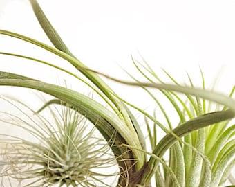Tillandsia green photography, floral nature, nature decor,