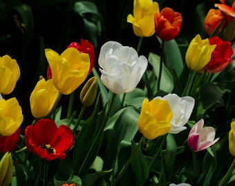 Red, White, and Yellow Tulips