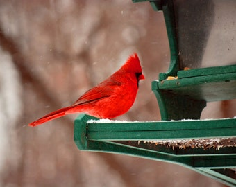 Cardinal at the bird feeder