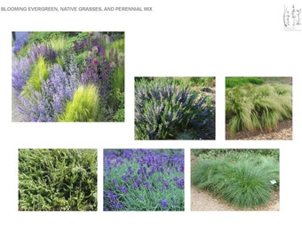 White and Blue Southern Blooming Evergreen Native Grass and Perennial Mix