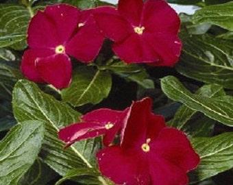 40+ Really Red Vinca Periwinkle Flower Seeds