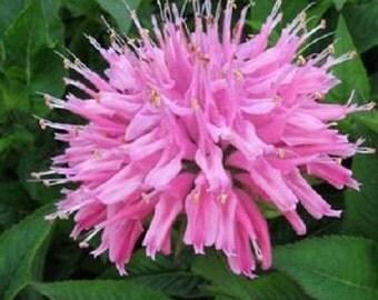 50+ Pink Monarda Bee Balm / Perennial Flower Seeds