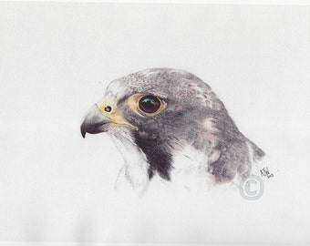Peregrine x Lanner Falcon Bird Print