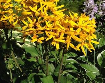 Ligularia dentata 'Britt-Marie Crawford' 30 Seeds