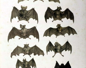 Set of 2 Antique Natural History 19th Century Bats Flying Mammals Prints Picture A4