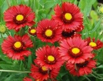 Garden Gaillardia 30 Seeds 'Burgundy'