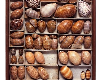 Drawer #33 - The Read Family Shell Collection