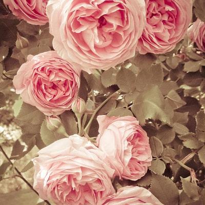 roseworthy