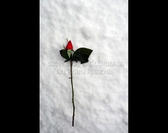 Last Rose, First Snow