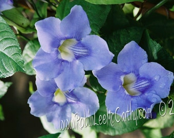 686 0a Thunbergia Greeting Card with Matching Envelope Blank All Occasion Note Card-Cards for when you care enough to send handmade!