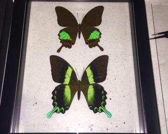 Indonesia Swallowtail Butterflies