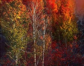 Fall trees, trees and stars, white birch trees, treescape, tree and sky, fall color landscape art,