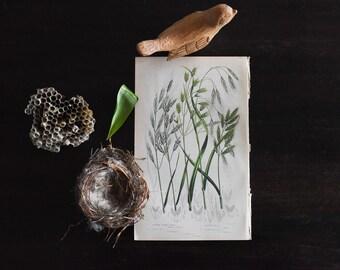 Antique Botanical Print, Woodland Plants, 19th Century Chromolithograph Colored Plates, Sedge Grasses, Vintage Lithographs