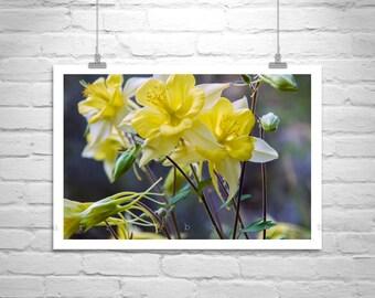 Flower Art Photography, Floral Print, Nature Art, Columbine Flowers, Flower Print, Floral Art, Nature Photography, Spring Art