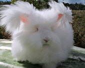 White Rabbit Wool Angora Fiber Natural Ruby Eyed English Angora Rabbit Fur Spinning Fiber Cruelty Free Humane Wool from Winter USA / 1 Ounce