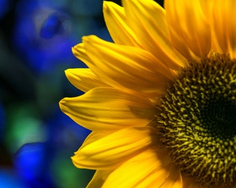 Sunflower Feeling Blue, Macro Sunflower Photo, Flower Photography, Sunflower Decor, Wall Art, Summer Picture, Fine Art, Blue and Yellow