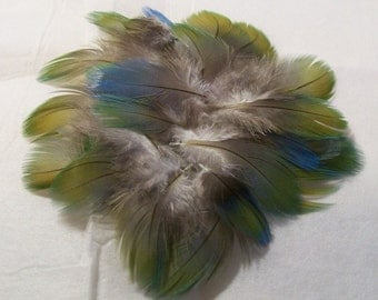 LP16-CHA-12-1 - Lot of 25 Fluffy Chest Feathers from a Catalina Macaw - Blues & Greens