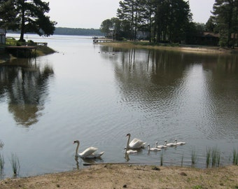 Pair of Swans and Five Cygnets Digital Photograph