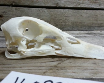Domestic Duck Skull- Craft Quality-   Lot No. 160924-V