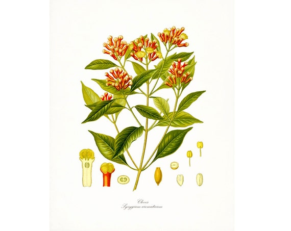 Vintage Herbs - Cloves  Traditional Botanical Giclee Art
