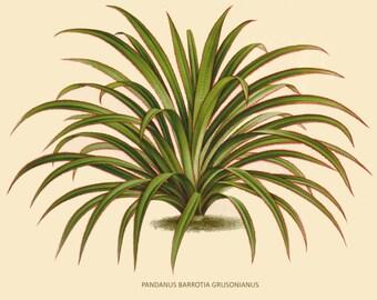 antique french botanical print pandanus palm illustration digital download
