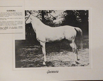 Vintage Crabbet Arabian Horse Art Print - Guemura