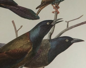 Circa 1915 Plate 74 Grackle / Starling print image 7 x 11 approx. great image 101 years old. Would look great framed