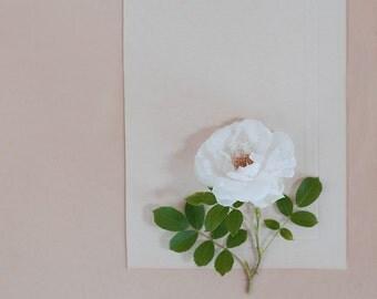 white garden rose-flower photography -flower photo- cottage garden photography (5 x 7 Original fine art photography prints) FREE Shipping)