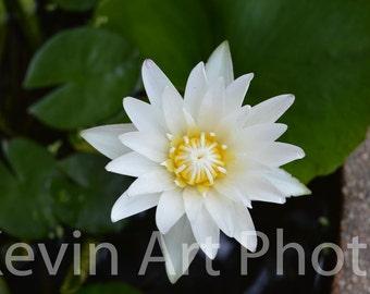 White lotus, Thailand