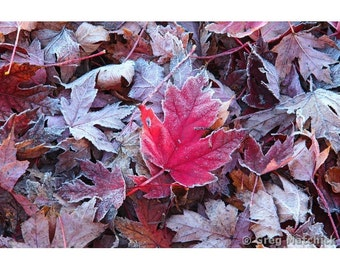 "Fine Art Color Nature Photography of Red Maple Leaf in Autumn in Missouri - ""Maple Leaves and Frost 3"""