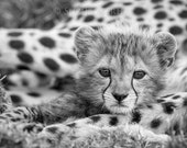 Baby Cheetah Photo, Black...