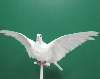 Wings Up White Fantail Dove Pigeon Real Bird Taxidermy Mount