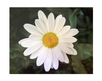 A Shasta Daisy, Maine Summer Garden, He Loves Me. He Loves Me Not,  SPECIALIZING in CUSTOM ORDERS