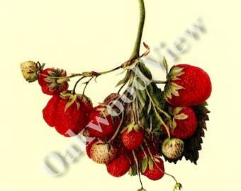 Cardinal Strawberry Print by Deborah Griscom Passmore, Vintage 1994 8x12 Botanical Art, Botany, Fruit, Berry Strawberries, FREE SHIPPING