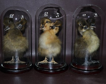 3 in 1 two headed duckling mounted with glass dome,free shipping to everywhere
