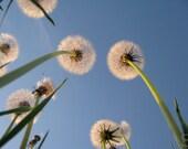 Digital Download Photo of Dandelion Trees