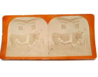 Picture of Cow and Boy Antique Photo Stereoview Card Sepia Stereographic Image Black White Bull Cow 1900's