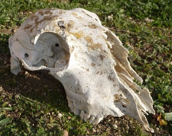 20 % OFF Real Weathered Sheep Skull