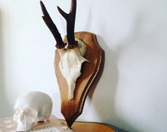 Roe Deer Antlers (2)