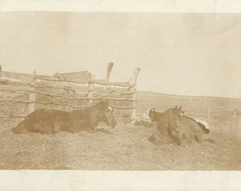 Us and Our Cows - Antique 1910s Resting Horses Sepia Toned Real Photo Postcard