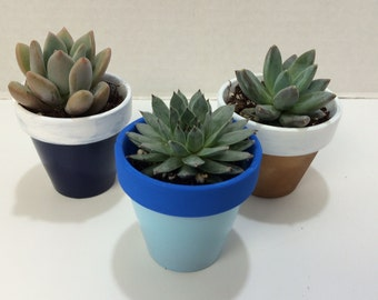 Succulent Plants - 50 Assorted Rosette Succulent Plants With Miniature Two Tone Custom Painted Terra Cotta Pots.